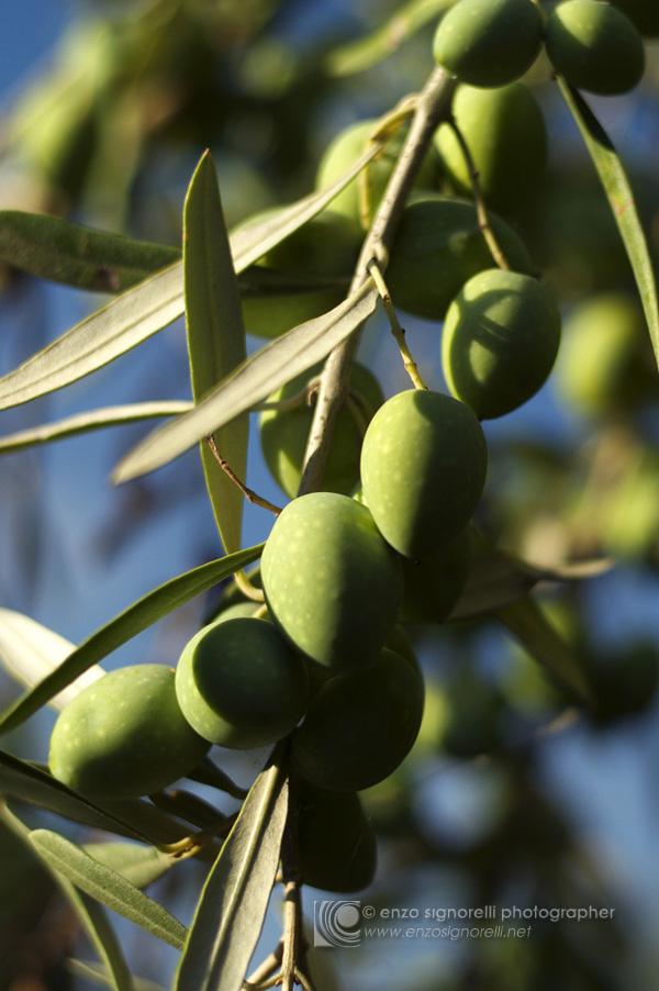 Ragalna, Etna (Sicilia) - Coltivazione degli olivi in contrada D